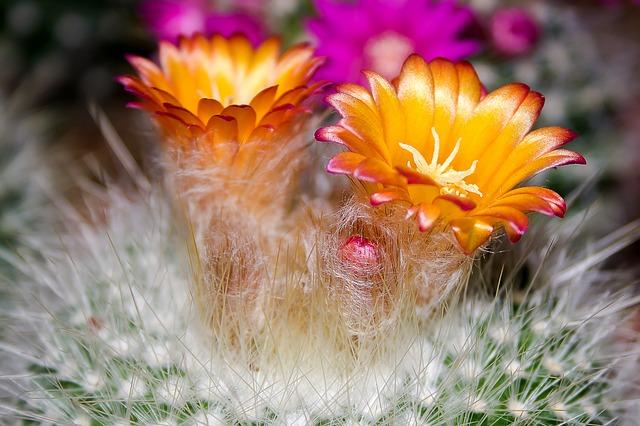 kaktus v květu