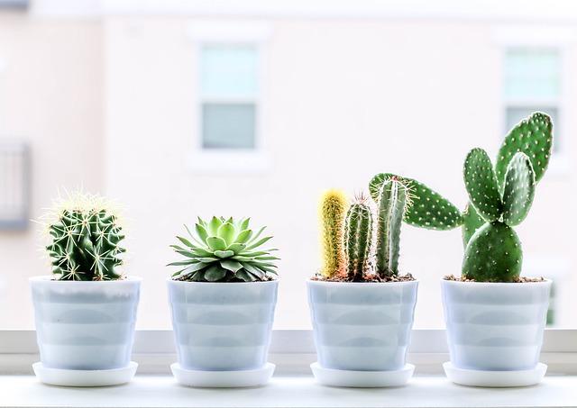 kaktusy na okenním parapetu
